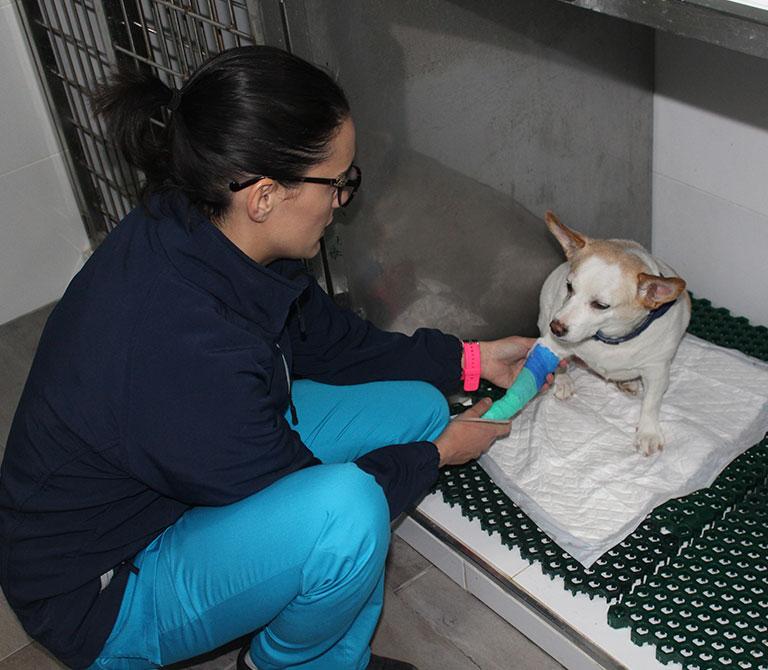 veterinaria-examinando-perro-con-pata-enferma